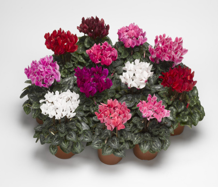 Cyclamen Plant Gift Wrapped
