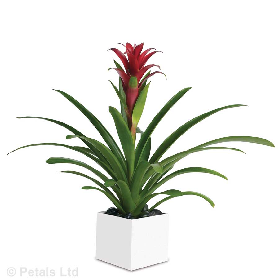 Bromeliad Beauty (P11)