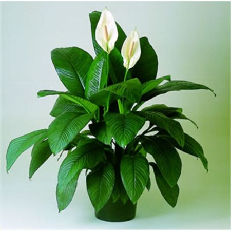 Spathiphyllum Peace Lily.